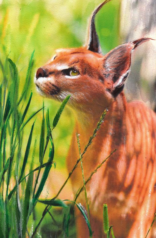 CARACAL CAT COLOURED PENCILS ON PAPER